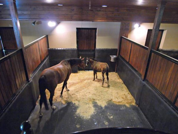 mare foal in stall